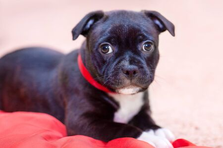 Cute little black puppy with white chest and red ribbon on the neck. Beautiful dog of staffordshire bull terrier breed. Yellow background, copy space.