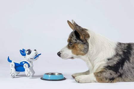 Two dogs, real one corgi and electronic interactive puppy toy look to each other in front of empty pet bowl. High technology concept of future domestic animals in electronic home. Indoors, copy space Banque d'images