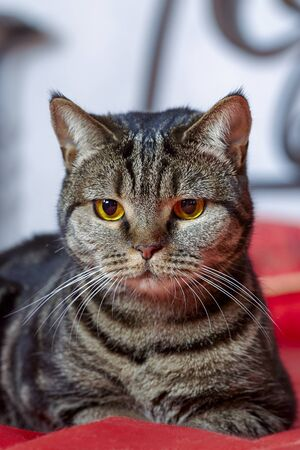 British short hair cat with bright yellow eyes and serious look lies on red cover. Tabby color purebred ?ute kitty at home. Indoors, copy space, selective focus, close up.