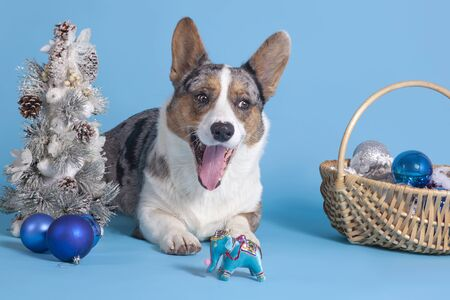 Cute welsh corgi of merle color, with big ears, lies close to christmas tree, vintage toy elephant, new year party decorations. Mouth opened, tongue out, funny dog face with adorable look. Indoors, studio, isolated, copy space, blue background.  Stock Photo
