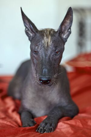 The portrait of a beautiful dog of rare Xolotizcuintle breed, or mexican hairless one, on bright red cover. Standard size, front view, close up head, bronze skin, ears up. Indoors, selective focus, copy space, light aquamarine background.