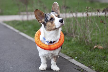 Young adorable dog of welsh corgi cardigan breed, merle color, with bright orange puller toy, put on his neck. Playful pet on ourdoor walking with his owner. Street with green grass, copy space.