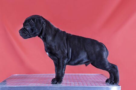 Cute little puppy of staffordshire bull terrier breed, black color with white chest, standing in exhibition stacking, on bright red background. Future of show dog concept, indoors, copy space. Imagens