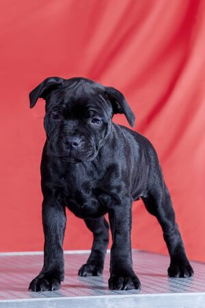Cute little puppy of staffordshire bull terrier breed, total black color, standing in front view on bright red background. Indoors, copy space.