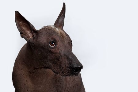 Close up portrait of Xoloitzcuintle, or Mexican Hairless breed, ancient and unsusual dog, with dark skin color, white mohawk on the head, gazing up. Strong emotion on the face. Copy space.