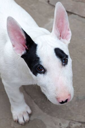 Close up portrait of funny little puppy of bull terrier breed, looking from down to the camera with adorable face expression. White dog color with black spots on the nose, eyes and one ear. Playful dog at home. Outdoor, happiness and love emotions.