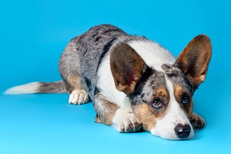 Cute Welsh Corgi Cardigan dog lying on blue background in studio, looking up. Rare Merle color, pretty eyes and face expression, spots on the nose. Copy space for any text. Imagens