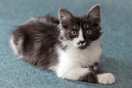 Close up portrait of cute little cat with bright yellow round eyes lying on the floor. Funny black and white color with spot in heart shape on the nose. Indoors, copy space, soft selective focus. Imagens