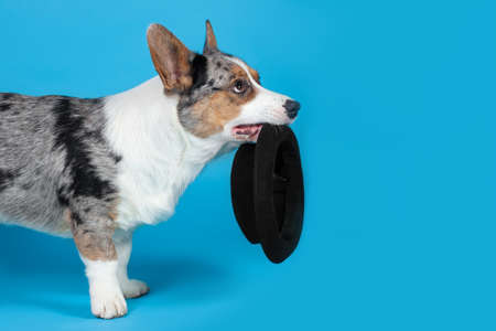 Cute Welsh Corgi Cardigan dog standing on blue background, looking up, holding black hat in a mouth, begging something. Rare Merle color, pretty eyes and face expression, poor pet. Big copy space. Imagens