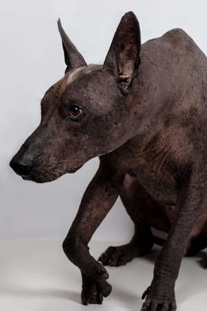Close up portrait of mexican hairless dog breed, named xoloitzcuintle, ancient and unusual, with dark skin color, red and white mohawk on the head. Strong emotion on the face. Copy space. Imagens