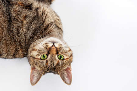 Portrait of little mongrel cat of tabby color lying on white background with head turning upside down. Playful kitten with green eyes and expressive serious look, big copy space. Imagens