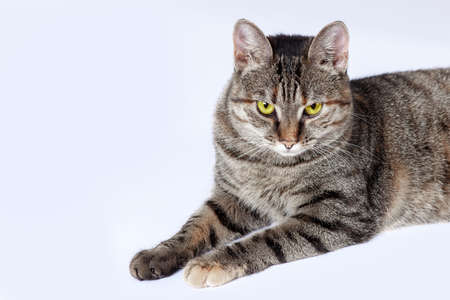 Close up portrait of short hair cat with bright yellow eyes and serious look. Tabby color, displeased face expression. White background, big copy space. Imagens