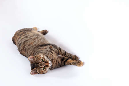 Portrait of little mongrel cat of tabby color lying down on white background. Playful kitten with green eyes and expressive serious look, great copy space.