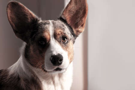 Close up portrait of cute senior dog of Welsh Corgi Cardigan breed, looking right to the camera, alone at home. Attentive look, sad eyes, face in penumbra. Indoors, copy space.