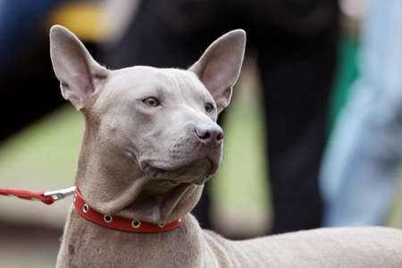 Close up portrait of beautiful Thai Ridgeback dog, of pale gray color, with red collar. Outdoors, copy space.