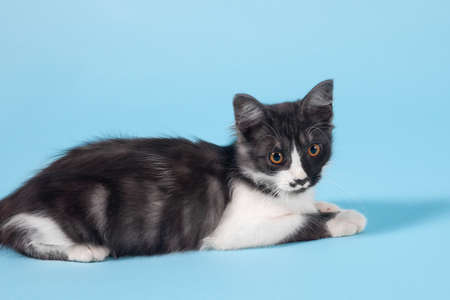Close up portrait of cute little cat with bright yellow round eyes lying on empty blue background. Funny black and white color with spot in heart shape on the nose. Indoors, copy space.