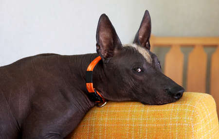 Close up portrait of mexican hairless breed dog named xoloitzcuintle, ancient and unusual, with dark skin color, ginger and white mohawk on the head. Strong emotion on the face. Copy space.