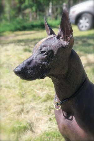 Portrait of mexican hairless breed dog named xoloitzcuintle, with dark skin color, ginger and white mohawk on the head. Outdoors, sunny day, green grass and trees background. Copy space. Archivio Fotografico