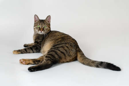 Portrait of short hair cat with green eyes and serious look. Tabby color, emotional face. White background, big copy space.