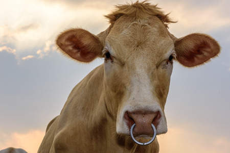 closeup cow face: Beef Cattle And Sky.