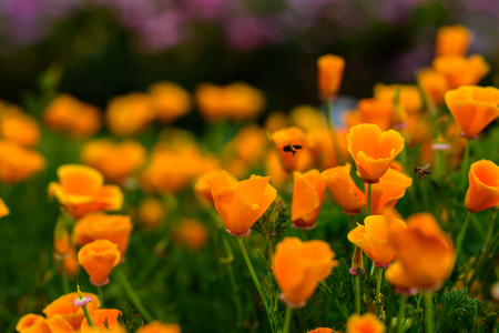 collecting: Honey Bee Collecting Pollen From Yellow Poppies