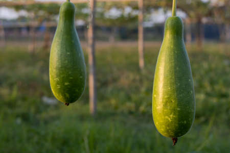 Two organic green bottle gourds hanging in bamboo and net rig inside a farm