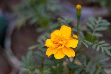 Yellow cosmos flower with green leaves inside the nursery
