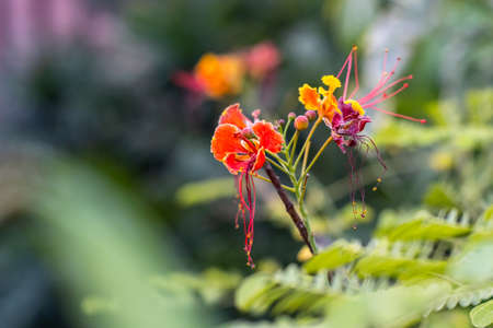 Close view of bloomed colorful red-yellow Dwarf Poinciana flower