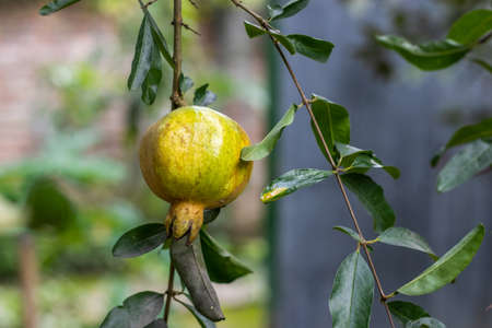 Pomegranate fruit hanging on the tree in the yard garden