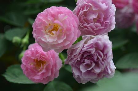 Roses Фото со стока
