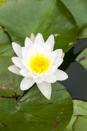 denier: Lotus
