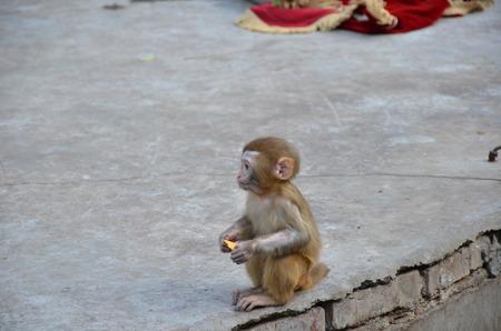 placenta: Monkey