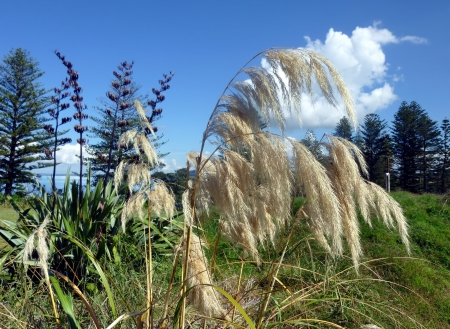 new zealand flax: Reed on Motuihe Island near Auckland with trees, blue sky and white clouds in the background Stock Photo