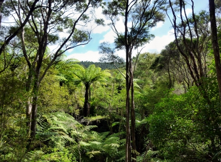 silver fern: View through the treetops of native bushland in the Okura Bush Scenic Reserve near Auckland with