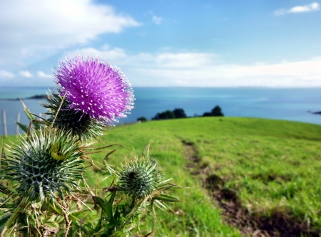 Thistle growing on top of a green hill on Motutapu Island near Auckland with the sea in the background