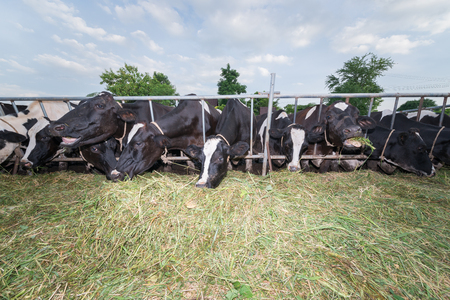 masses: masses cow eating grasses in stall at Farm cow locals thailand Stock Photo