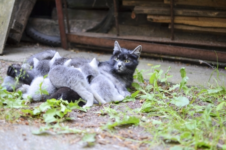 nipple young: Gray Cat Mom Watching While Nursing Kittens in the Yard