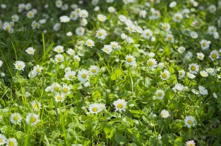 shady: Sunny and Shady Field of Beautiful Daisies Close-up