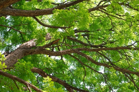 Kentucky Coffeetree Canopy Close-up in the Middle of Summer Stock Photo