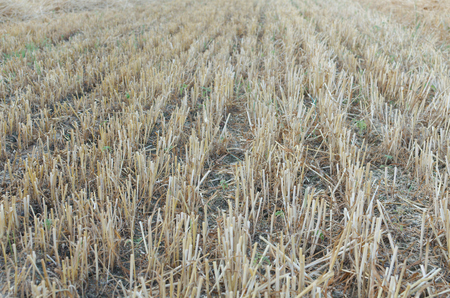 Wheat Stubble Lines on the Field after the Harvest Stock Photo
