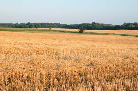 Wheat Stubble Landscape with Corn Field in the Morning photo