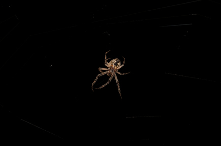 Orb Weaver Spider at Night in his Cobweb photo