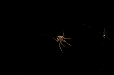 orb weaver: Orb Weaver Spider at Night in his Cobweb