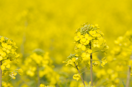 Yellow Rapeseed Flower with Blurred Rapeseed Field