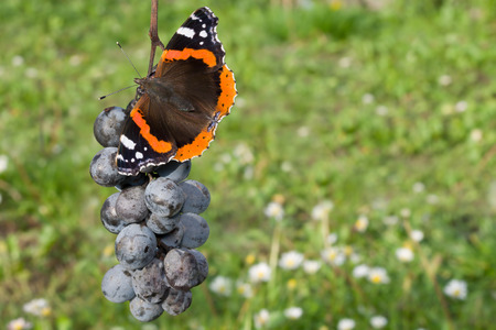 admiral: Red Admiral Butterfly Eating Blue Grapes in the Garden