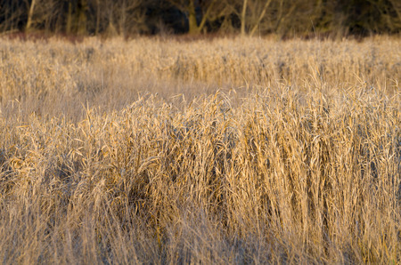 floodplain: Dried Winter Reeds in front of Floodplain Forest Closeup