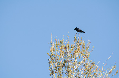 carrion: Carrion Crow on Top of the Tree