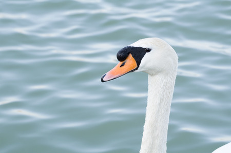 Mute Swan Head in front of Wavy Water photo