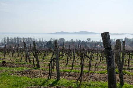 balaton: Vineyard in Badacsony in the Springtime at Lake Balaton