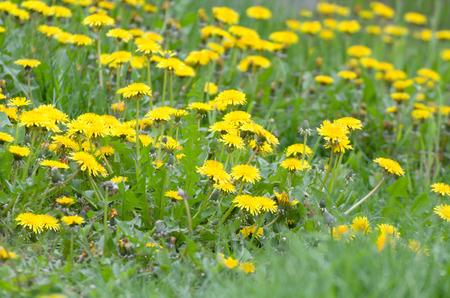 dandelion field: Yellow Dandelion Field Closeup From Low Angle Horizontal